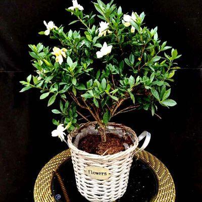 栀子花盆栽大苗花卉观花植物室内花四季开花浓型芳香净化空气牡丹