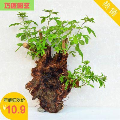 黄荆盆景下山老桩室内花卉盆栽绿植舍利桩百年老桩庭院南北可种