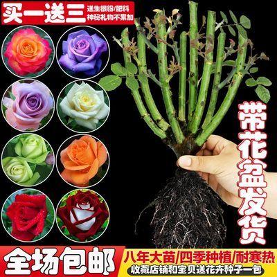 玫瑰花苗大花带花苞绿植盆栽室内室外蔷薇月季花卉种子四季开花瓣