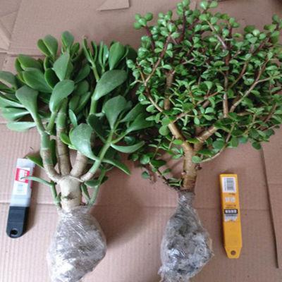 盆栽植物 多肉植物 金枝玉叶 盆栽 室内防辐射 花卉绿植 绿色植物