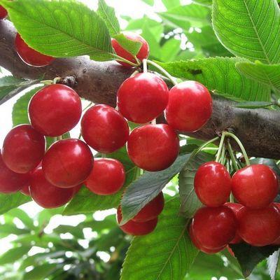 樱桃种子 四季播室内庭院阳台 樱桃树种子樱桃种子车厘子