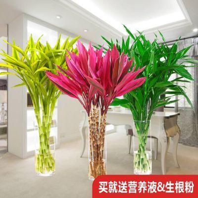 富贵竹水培植物大叶竹净化空气室内观音竹盆栽绿植办公室水养包邮