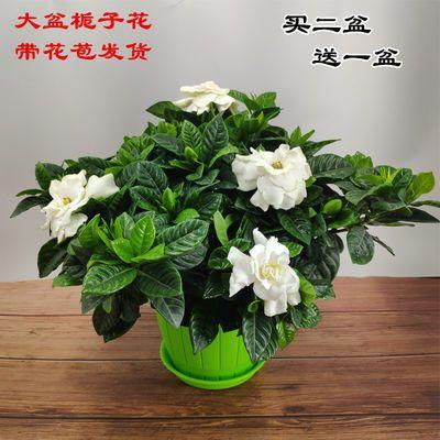 【带花苞发货】栀子花盆栽室内发财树花卉四季开花观花植物除甲醇