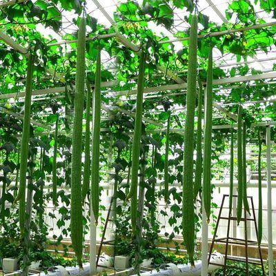 将种子放在60℃热水中不断搅拌浸泡10~15分钟,再在30℃温水中浸种2~5小时,洗净后用湿布(或纸巾)包好在25~30℃条件下催芽24~36小时,种子有2/3露白时播种。 2、将种子点播到一次性塑料杯中,覆土1~2厘米,并浇透水,也可直播于相应容器中,每穴2~3粒种子。温度合适时约5~7天发芽,温度较低时可覆膜保温。 3、种子播种后适当浇水,当4~6片真叶时选晴天午后定植,定植前一周通风炼苗,施足基肥(夏播的可少施或不施),去除老、弱、病苗,每盆栽1株。