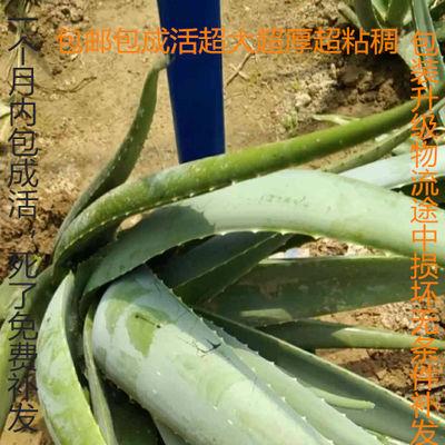 美容院库拉索芦荟叶片美容灌肤多肉植物芦荟盆栽食用室内花卉绿植