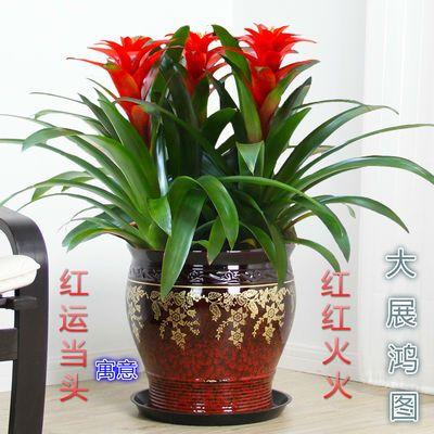 大型盆景鸿运当头凤梨花铁兰绿植室内客厅阳台绿植盆栽花卉植物