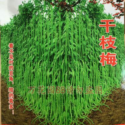 干枝梅特长豆角种子品种介绍:         特别培育早熟高产,优质长荚品种。植株长势强健,叶小花多,开花时间长。双荚,多荚率高,条荚顺美光滑,荚长75厘米左右,荚长可达到1米以上,上下粗细均匀。荚色嫩绿,肉厚无鼓籽,无鼠尾,不易老化,抗寒,耐热耐湿。比同类产品高产30%左右,是基地首先品种。