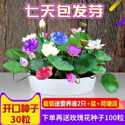 四季播种碗莲种子水培植物开口碗莲盆栽花卉植物荷花迷你睡莲根块