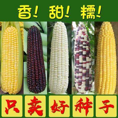 与普通玉米隔离种植,距离不少于500米,或者合理安排时间让其错开花期,防止串粉,影响品质。