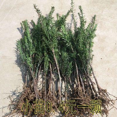 盆栽绿植花卉南方红豆杉树苗吸甲醛盆景曼地亚红豆杉小苗当年结果