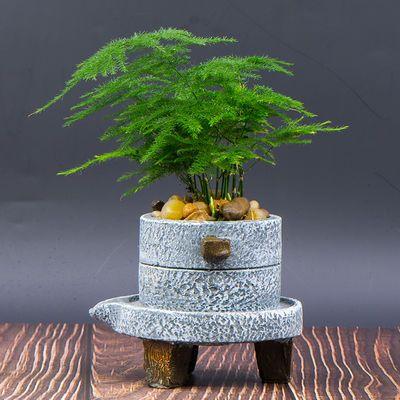 文竹盆栽桌面办公室绿植四季常青防辐射净化空气小盆栽