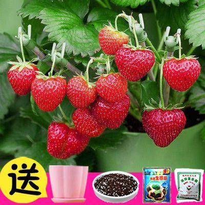 草莓种子四季种易活开花室内外盆栽花种子籽子绿植物花草花卉花籽
