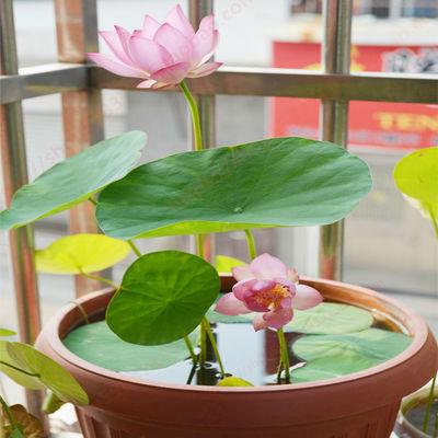牡丹月季玫瑰花苗盆栽植物室内碗莲花卉种子四季绿植水培绿萝好养