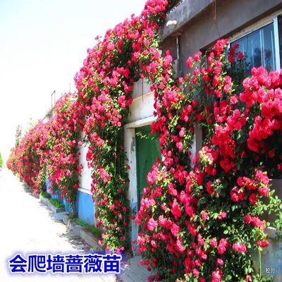 蔷薇花苗欧月爬藤月季花苗玫瑰花苗四季爬墙绿植物盆栽花卉庭院