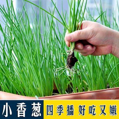 四季小香葱种子500粒装【买2送1+肥料】四季可播种蔬菜种子小葱