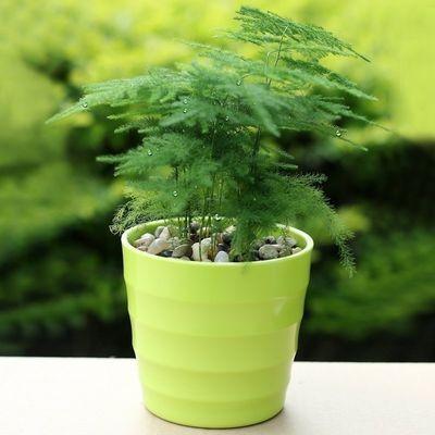 【带盆栽好】文竹盆栽花卉绿植客厅办公室内桌面绿植防辐射植物