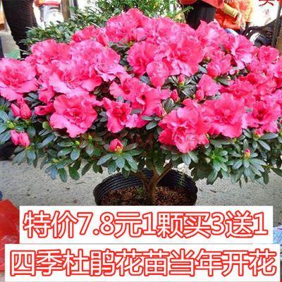 死亡包赔 四季开花杜鹃花苗 盆栽花卉绿植物 带原土发货