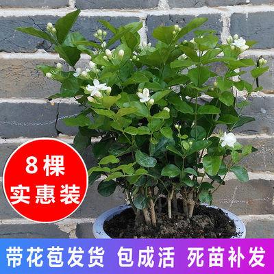 【8棵带盆带花苞】重瓣茉莉花盆栽茉莉花苗花卉室内植物阳台绿植