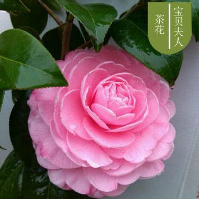 【精品花卉】茶花花卉盆栽室内阳台绿植南方北方种植庭院观赏