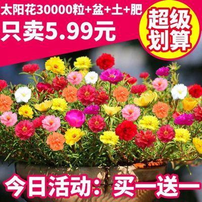 买1送1 包发芽【3万粒太阳花种子】太阳花重瓣混色松叶牡丹花种子