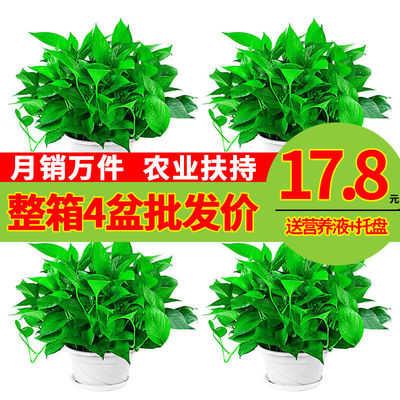 60株绿萝盆栽花卉除甲醛室内植物绿植好养净化空气懒人盆长藤批发