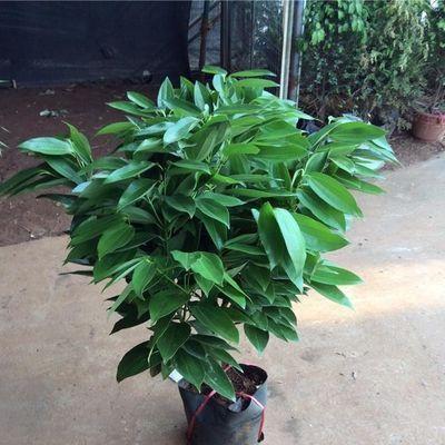 平安树幸福树盆栽大型绿植花卉树苗小盆栽室内客厅办公室植物盆景【3月8日发完】