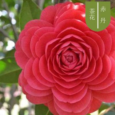 【精品花卉】盆栽室内阳台绿植南方北方种植庭院观赏茶花花卉