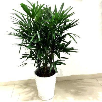 棕竹盆栽室内客厅绿植细叶金山棕竹宽叶棕竹净化空气包成活包售后