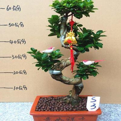 小叶榕树S造型特价台湾幸福树小盆栽小盆景常青除甲醛防辐射发财