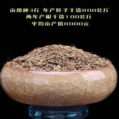 蒲公英籽种子新采野菜婆婆丁种植药用种子四季播种多年生野菜种子