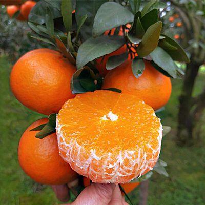 新鲜采摘青见柑橘10斤60-120mm水果当季孕妇5/2斤应季水果批发