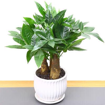 发财树盆栽客厅花卉绿植室内招财绿色植物办公室小盆景