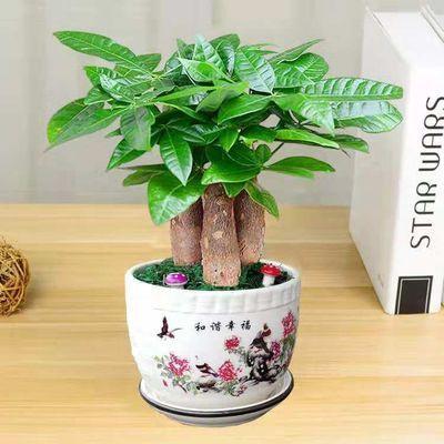 发财树室内花卉小盆景植物发财树盆栽花苗客厅绿色植物招财绿植