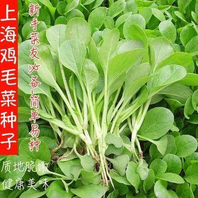 鸡毛菜种子易种蔬菜种子阳台四季盆栽青菜种子上海青油菜种子包邮