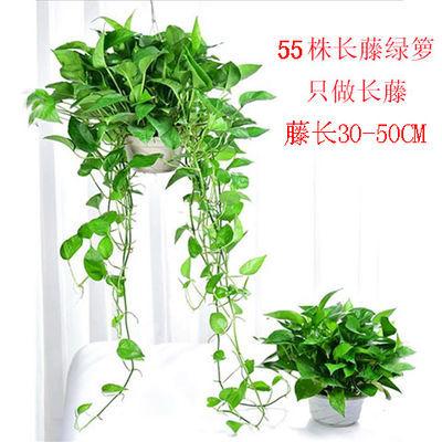 绿萝盆栽长藤大叶绿萝净化空气室内吊兰植物吸甲醛四季水培花卉