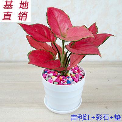 吉利红盆栽植物 如意皇后花卉室内客厅除甲醛绿植盆栽