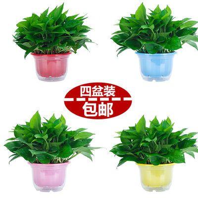 精品绿萝盆栽室内植物花卉绿植盆栽吊兰垂吊吸甲醛防辐射净化空气