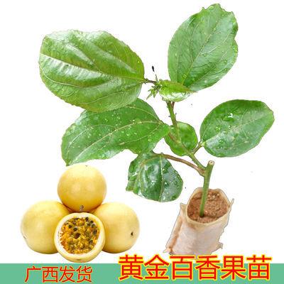 黄金百香果苗当年结果鸡蛋果苗阳台花盆栽树苗南方四季西番莲酸甜