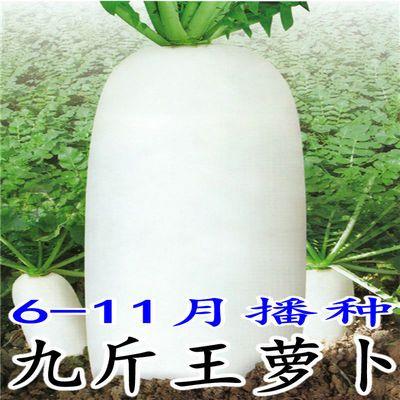 特征特性:       叶片少而平展,不易抽苔,根膨大快;根部全白,整齐,长圆型,是大棚露地种植的专用品种,肉质根光滑,质脆味甜,少有裂根出现。单根重1.3---1.50公斤,可以达到2.5公斤。抗热性好,根皮及纯白度表现优秀,耐糠心耐延迟采收;长江以北种植,抗热,表皮光滑度好,根皮纯白,没有青头现象,根长到30-35公分。长江以南的高温高湿会导致根型偏短,一般情况下在26-29公分之间。亩产量10000公斤以上。