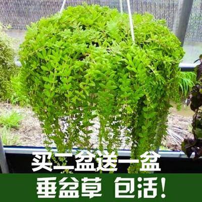 正宗中药材垂盆草盆栽包邮食用养肝清热解毒垂吊绿植生长速度快