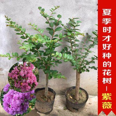 【花开百日树】紫薇盆栽 美国红火球紫薇树百日红夏天好养树苗
