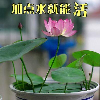 四季播30粒碗莲种子套装已开口水培植物睡莲荷花盆栽水生花卉水养