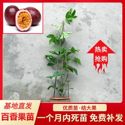 高产黄金百香果苗果树果苗嫁接四季结果广东南方盆栽爬藤鸡蛋果苗