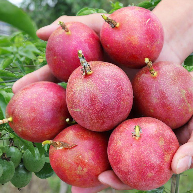 【只发精品果】广西百香果精选大果5斤新鲜水果12个1/3斤酸甜多汁_2