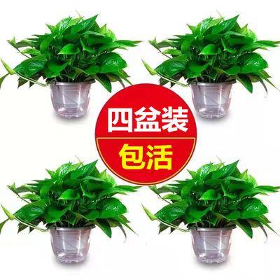 绿萝盆栽室内植物吸甲醛净化空气水养花卉大叶自吸水培鲜花绿植