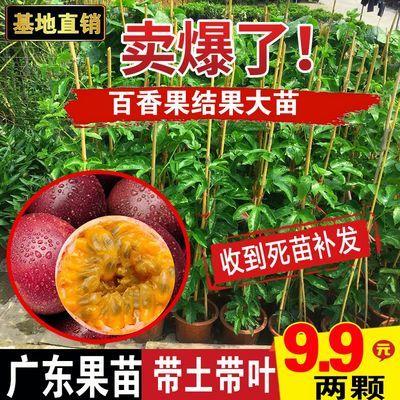 百香果苗鸡蛋果苗果树苗紫香台农黄金果四季可种盆栽庭院阳台果苗