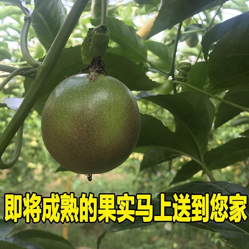 【果肉饱满】百香果大果新鲜福建龙岩特大一级甜批发12个2/3/5斤_7