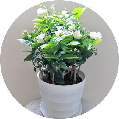 茉莉花盆栽春天易活植物绿植四季开花室内外花卉净化空气每盆8株