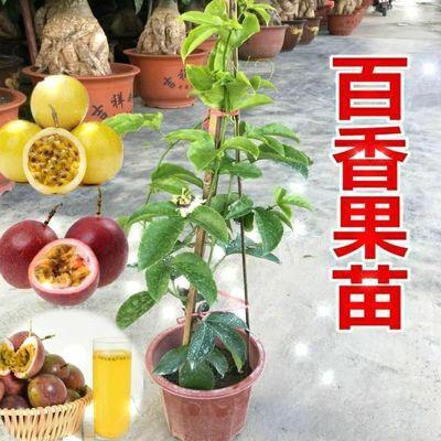 百香果苗黄金紫香鸡蛋果树苗南方 四季阳台庭院爬藤盆栽