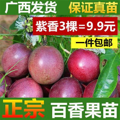 百香果苗包邮 广西容县发货 紫香 台农 黄金果 满天星 大长黄果苗